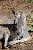 kangaroo-3690650__340